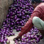 Oogst 'Wonderaubergine' in Bangladesh geen succes